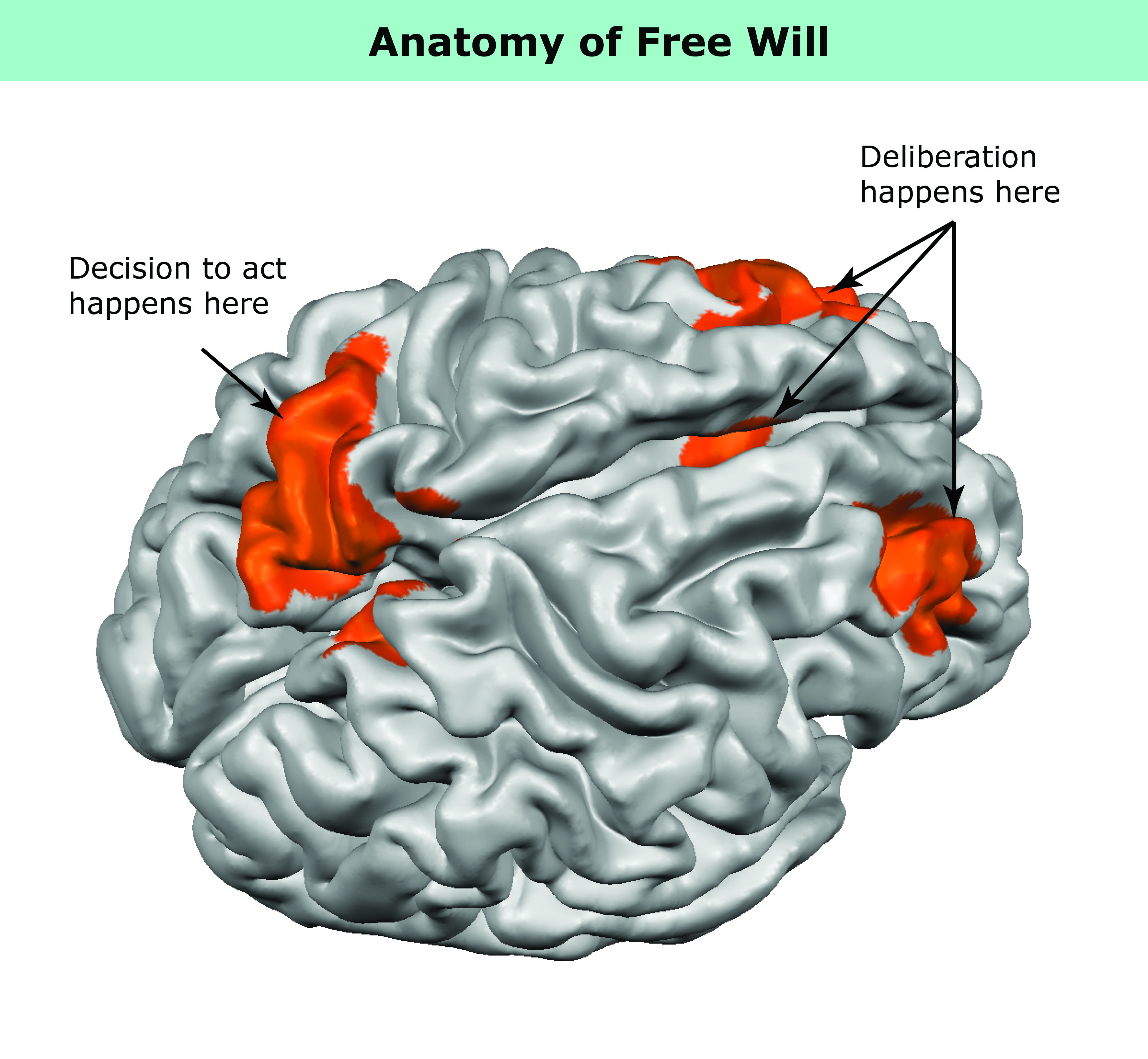 What Free Will Looks Like in the Brain | Imaging Technology News