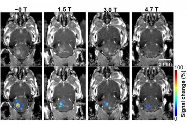 In a mouse model study of MRI-guided focused ultrasound-induced blood-brain barrier (BBB) opening at MRI field strengths ranging from approximately 0 T (outside the magnetic field) to 4.7 T, the static magnetic field dampened the detected microbubble cavitation signal and decreased the BBB opening volum