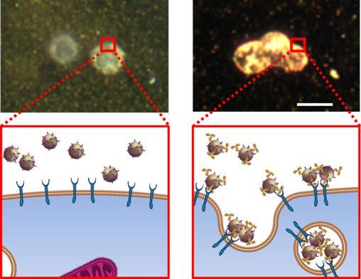 sPA, NIBIB, metastasis, lymph nodes, MAPS, EGFR, molecular detection